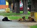 Curico, mas perros (13904552763).jpg
