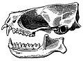 Cynomops planirostris skull.jpg