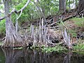 Cypress Knees along Santa Fe River - panoramio.jpg
