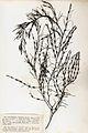 Cystoseira baccata Crouan.jpg