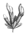 Cytisopsis sp infl Taub114e.png