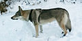 Czechoslovakian wolfdog wiki.jpg