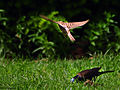 DSC 3178 1 72 - Sparrow In Flight.jpg