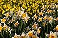 Daffodils in Greenwich Park - geograph.org.uk - 2341193.jpg