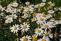 Daisies, Spring comes (2332902998).jpg