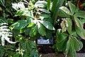 Dalechampia spathulata - Marie Selby Botanical Gardens - Sarasota, Florida - DSC00979.jpg