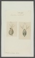 Daphnia clathratra - - Print - Iconographia Zoologica - Special Collections University of Amsterdam - UBAINV0274 099 06 0012.tif