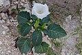 Datura inoxa-2402 - Flickr - Ragnhild & Neil Crawford.jpg