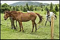 Dayboro horses waiting for Ben with carrots-1 (22247249423).jpg