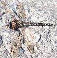 Dead Odonata.jpg
