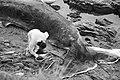 Dead Sperm whale (4).jpg