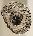 Declivolithus alfredi, Late Ordovician, Mecissi, Morocco - Houston Museum of Natural Science - DSC01566.JPG