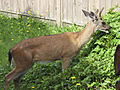 Deer in my compost pile (9232894518).jpg