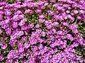 Delosperma pink Ice Plant 2.jpg