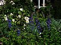Delphiniums and musk roses - Flickr - peganum.jpg