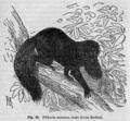 Descent of Man - Burt 1874 - Fig 68.png