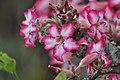 Desert Rose (?) (15060903602).jpg