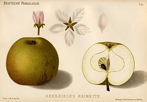Johann Georg Conrad Oberdieck - Oberdieck's reinette (1882–83)