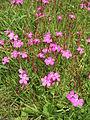Dianthus deltoides002.jpg