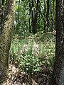 Dictamnus albus sl23.jpg