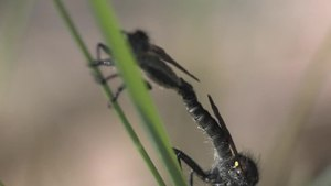File:Didysmachus picipes - 2012-05-28.ogv