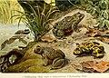 Die Reptilien und Amphibien mitteleuropas (1912) (20932738322).jpg