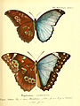 Die ausländischen Schmetterlinge in Abbildungen nach der Natur (Tab. XLI) (6011998617).jpg