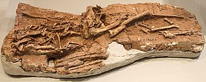 Dilong (dinosaur) - Original fossil specimen