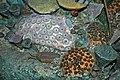Diorama of a Devonian seafloor - solitary & colonial corals, trilobites, fenestrate bryozoans, brachiopods (30701689927).jpg