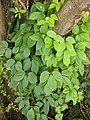 Dioscorea pentaphylla26.jpg