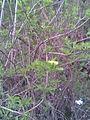 Dipsacales - Sambucus nigra - Transylvania 2.jpg