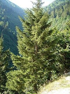 <i>Picea orientalis</i> species of plant