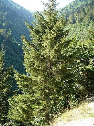 Picea orientalis - Endemique Habitus.