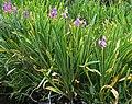 Dodecatheon redolens (Primula fragrans), Mount Whitney.jpg