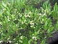 Dodonaea viscosa Jacq. (AM AK330062-2).jpg