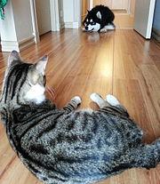 Domestic cat watching an alaskan malamute