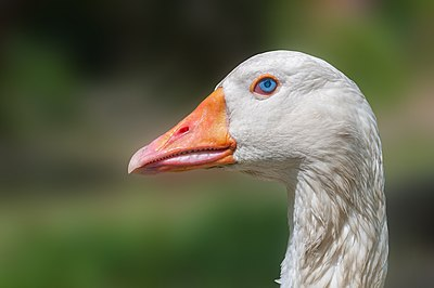 Domesticated goose head, Chaguaramal, Venezuela.jpg