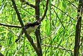 Donacobius atricapillus (Sinsonte lagunero) (14054113858).jpg