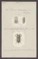 Dorcus - Print - Iconographia Zoologica - Special Collections University of Amsterdam - UBAINV0274 018 13 0054.tif