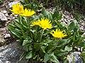 Doronicum clusii a3.jpg
