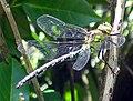 Dragonfly right.JPG