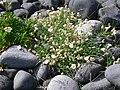 Dritvík - Vegetation und Lavakiesel 2.jpg