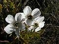 Drosera cistiflora Hangklip 01.jpg