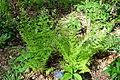 Dryopteris carthusiana - Jenkins Arboretum - DSC00624.JPG