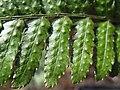 Dryopteris erythrosora2.jpg
