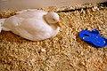 Duck (509168034).jpg