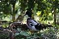 Duck BN3Q4914.jpg