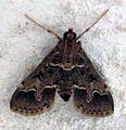 Duponchelia fovealis.jpg