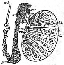 EB1911 Reproductive System, in Anatomy - testis and epididymis.jpg