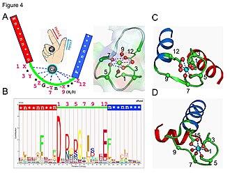 Metalloprotein - EF-hand motif